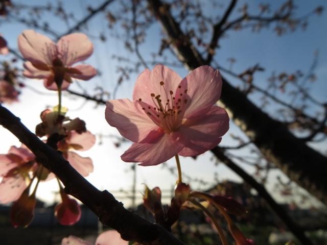 早咲きのサクラがきれいに咲いていました!🌸