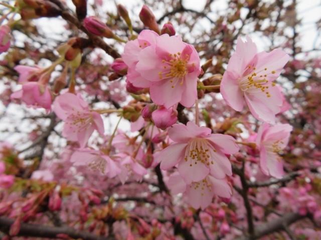 河津サクラみたいです。きれいに咲いています