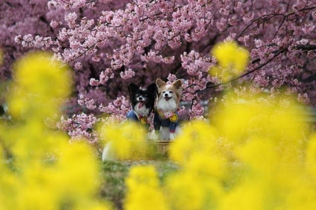 2020・1 東大山の河津桜 (489)