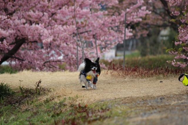2020・1 東大山の河津桜 (553)