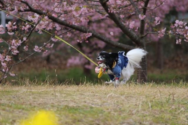 2020・1 東大山の河津桜 (467)