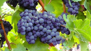 blue-grapes-77376__340.jpg