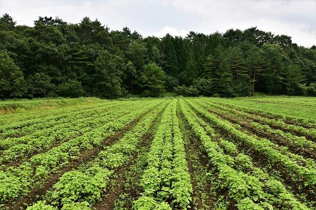 赤ソバ畑1