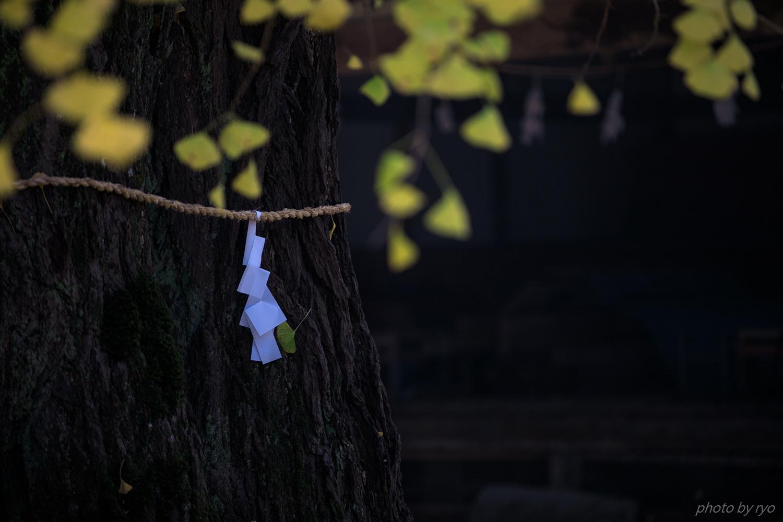迦具神社の大イチョウ