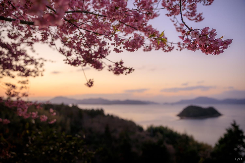河津桜と_4