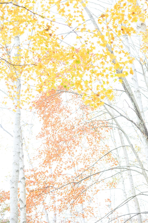 恋する白樺林_2
