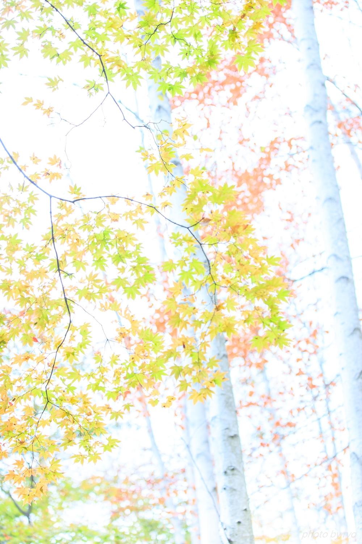 恋する白樺林_6
