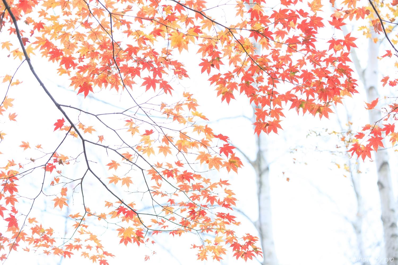 恋する白樺林_7