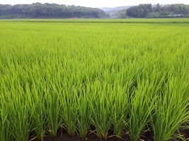 【写真】農園前の田んぼの青々とした稲