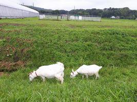 【写真】農園の土手で2頭仲良く並んで草を食べるアランとポール