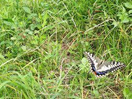 【写真】土手の草にとまっているアゲハチョウ