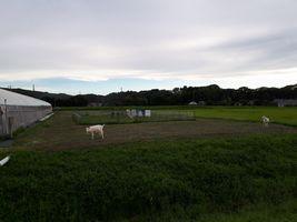 【写真】草が刈られたアランフィールドの外に出てウロウロするアランとポール