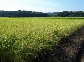 【写真】農園前の田んぼの垂れた稲穂の風景