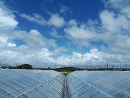【写真】青空の下で台風対策中の本圃ハウスの屋根の上