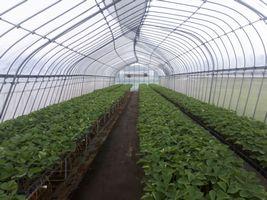 【写真】台風15号の暴風に耐えたポレポレ苺の苗たち