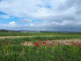 【写真】農園近くの道端に咲いた彼岸花(遠くに見えるハウスがポレポレ農園)