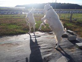 【写真】朝陽の中で前脚をあげて押し相撲の立ち合い中のアランとポール