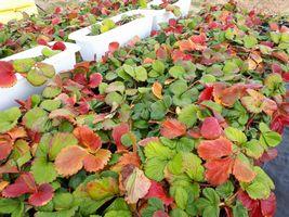 【写真】休眠に入って紅葉したかなみひめの苗の様子