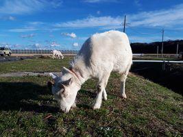 【写真】久しぶりの青空の下で草を食べるアランとポール