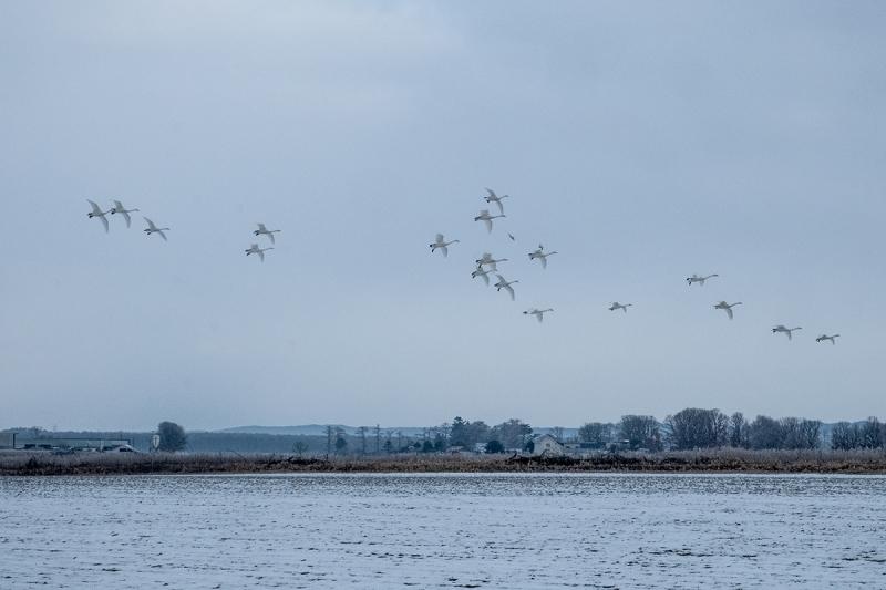 白鳥 (1 - 1)