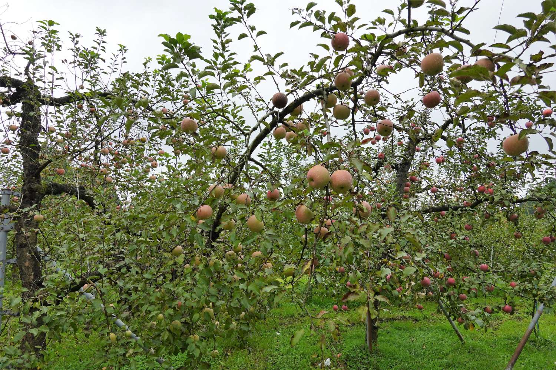 りんご 園 原