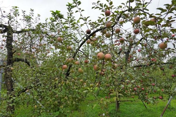石那田のりんご園