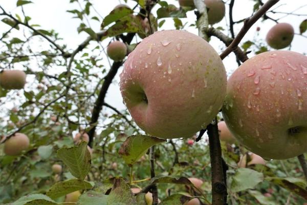 (忠)大草りんご園