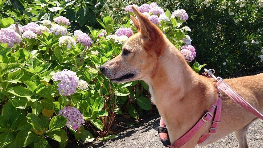 miwaマリリンと紫陽花