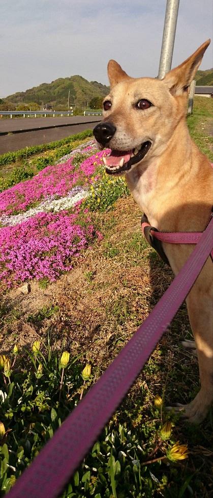 miwaマリリンと芝桜