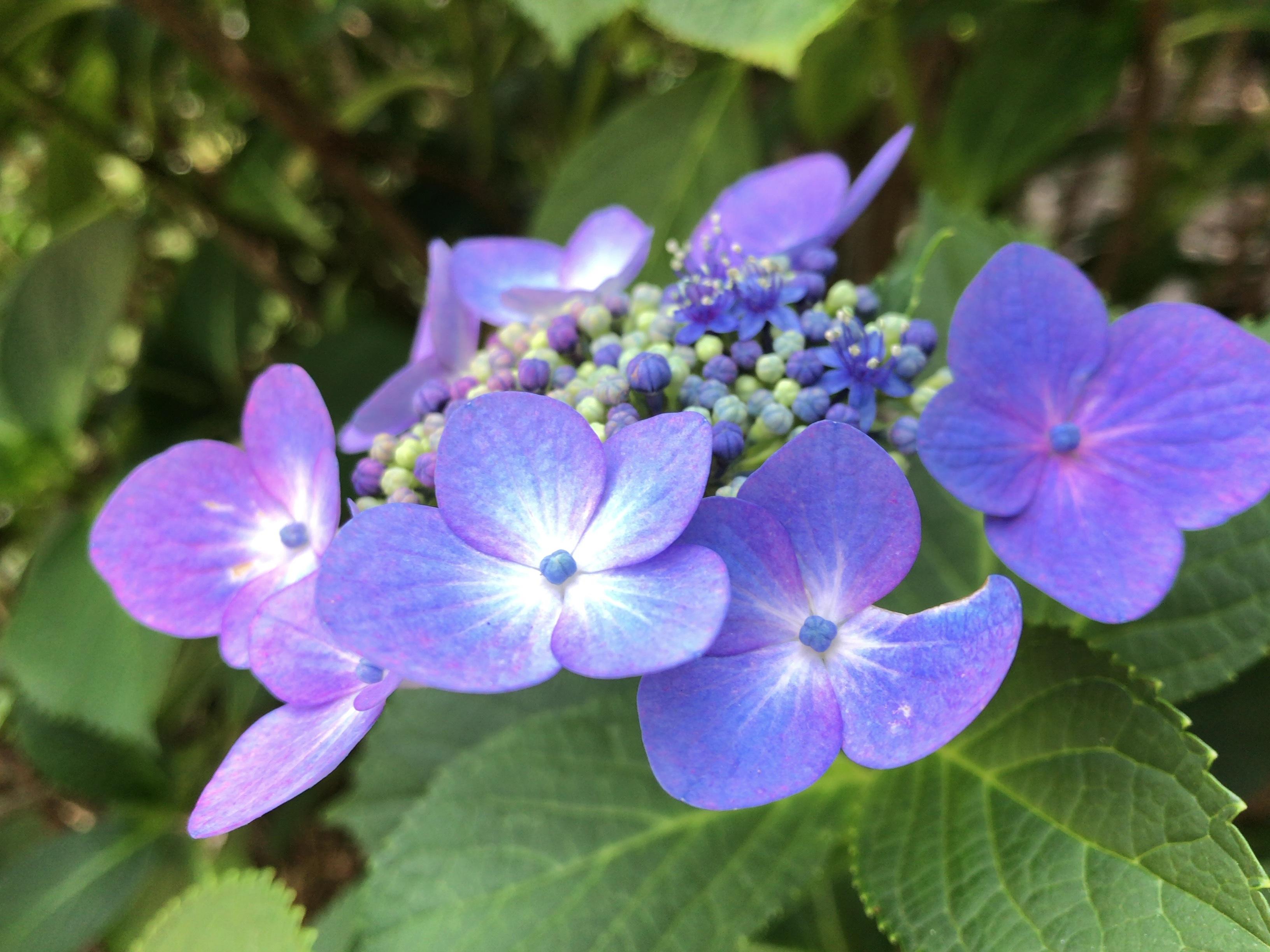 福岡の紫陽花