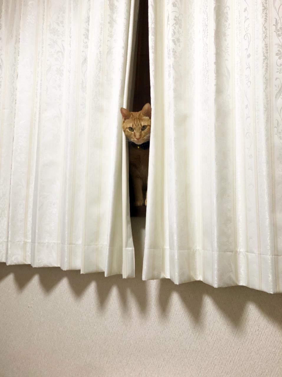 視線を感じると、カーテンの間からとらすけが‥👀