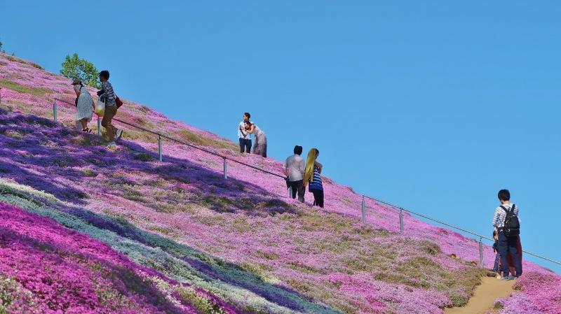 20190525東琴藻芝桜公園 (800x449)