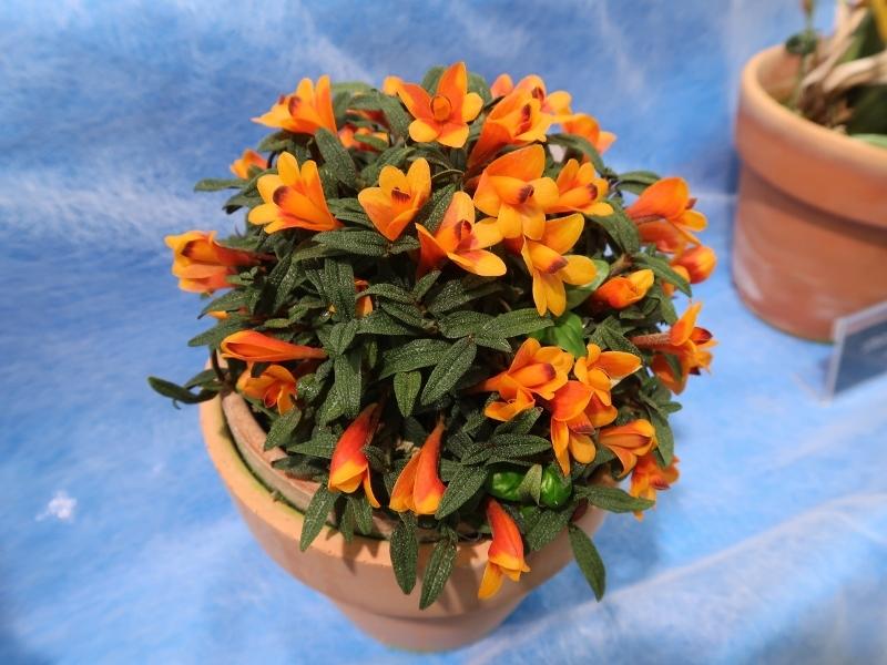 Dendrobium cuthbertsonii (800x600)