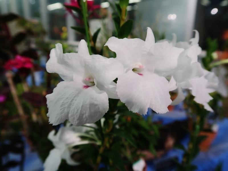 Dendrobium parthenium (800x600)