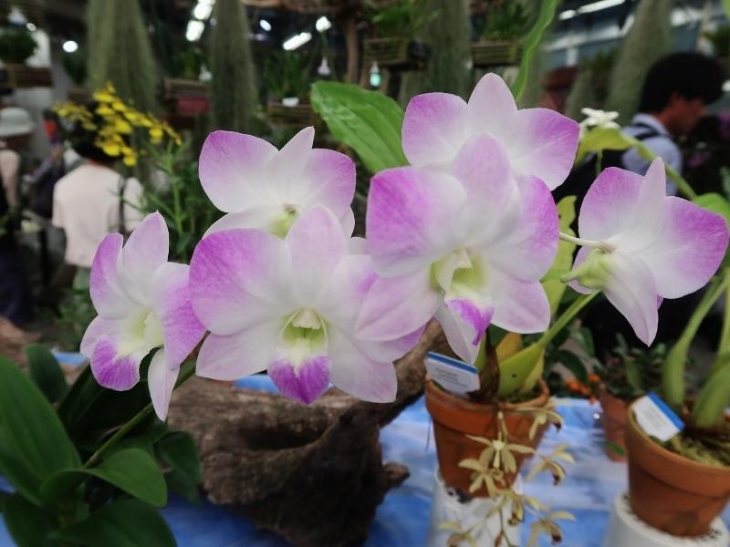 Dendrobium Sukusawer White (800x600)