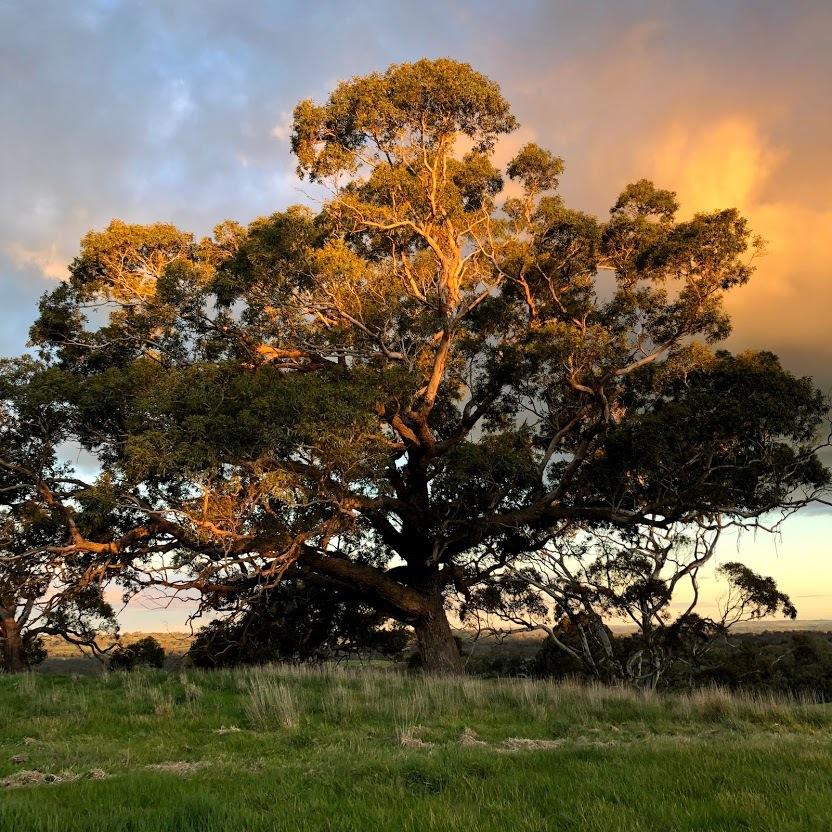 トムショブルック自慢の大樹