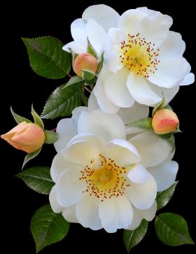 roses-4193341_640_convert_20190803220108mini.png