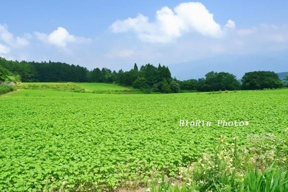 2019年8月飯山旭そば畑