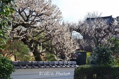2020年2月心應寺塀の梅