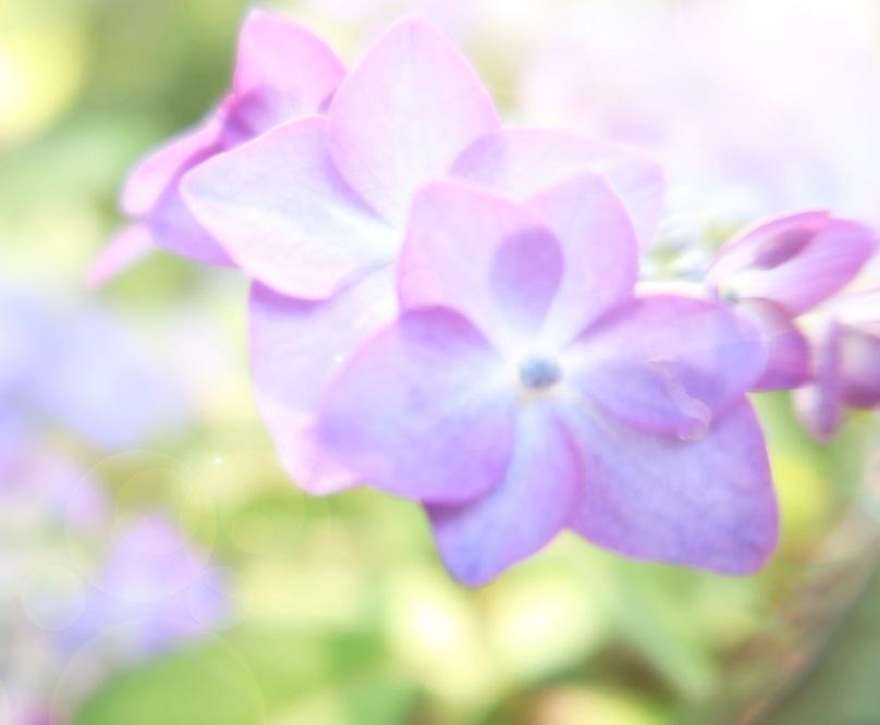 IMG_0243紫陽花1-20190711-1000