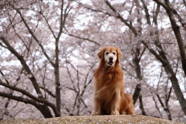 播磨中央公園の桜 151