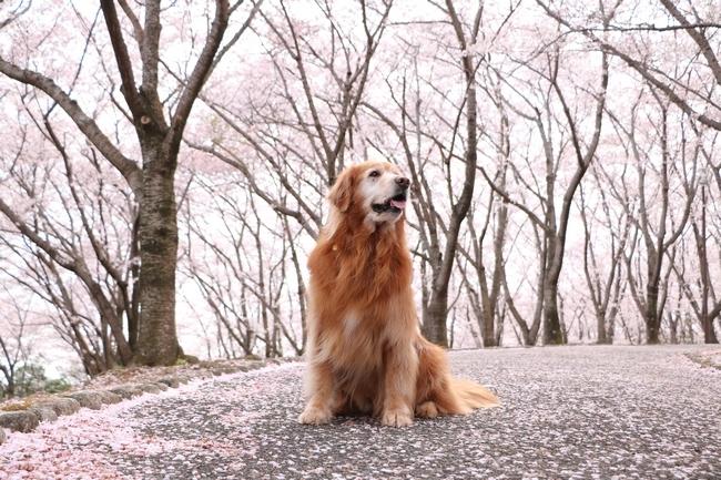 播磨中央公園の桜 028