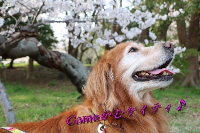 明石公園桜2018 196
