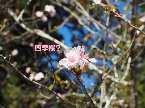 46四季桜