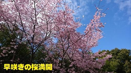 35桜満開