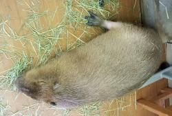 バカと付き合うのも疲れたわ。眠りこけたカピバラ