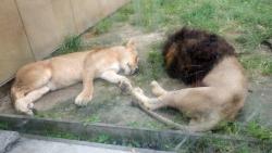 lionfuufu.jpg
