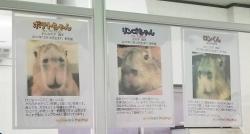 三つ子のカピバラちゃん(カピバランド PUPUI)