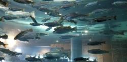 淡水に住む美味しそうな魚たち