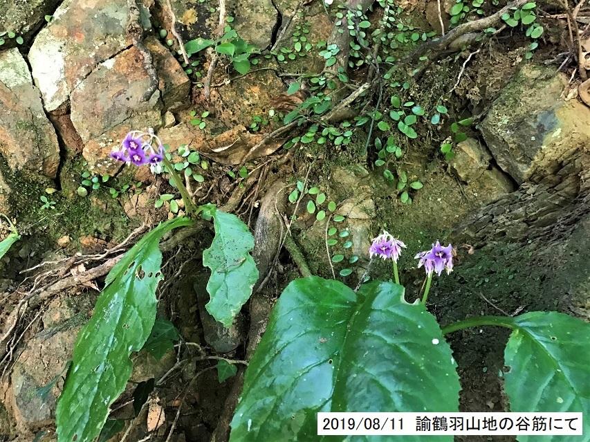 8月11日、イワタバコの花